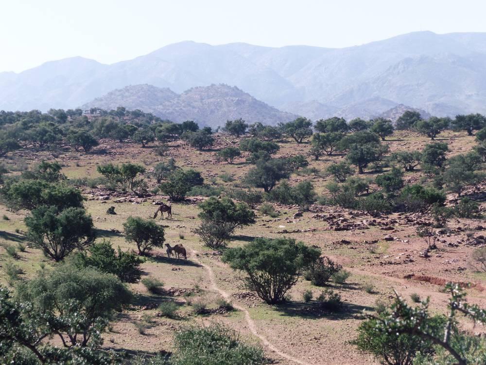 arganier-maroc-voyage-dromadaires-montagne